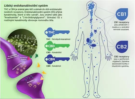 ukázka, co je endoknabinoidní stytém